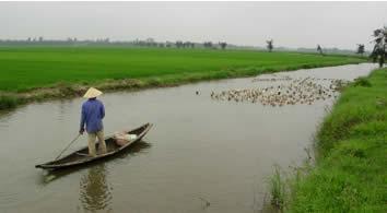Vietnam, duck shepherd