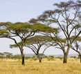 Safaris, Acacias trees